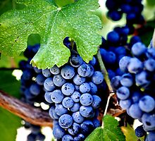 Napa Valley California - Vineyard Merlot Grapes by WineEventsUSA