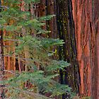 Sequoia In the Pines by Bryan Shane