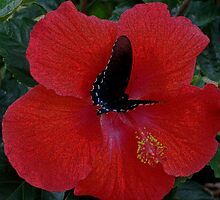 Butterfly on Hibiscus by Karen Harrison