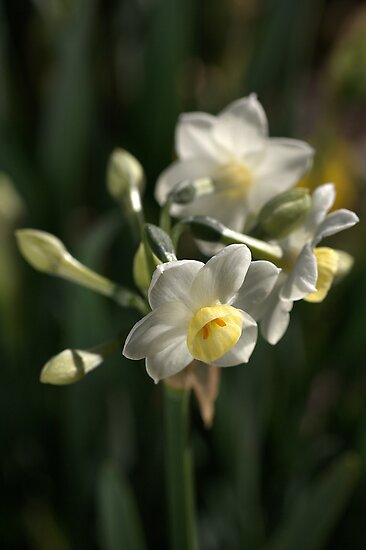 Jonquils in Bloom by Joy Watson
