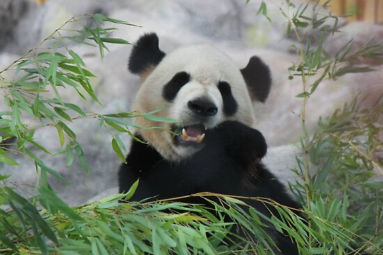 Giant Panda's by Jeanette Muhr