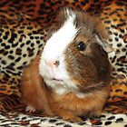 Pixie the Guinea Pig by Michaela1991