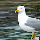 Seagull by Hannah Sterry