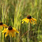 Wild Black Eyed Susan by Stephen Thomas
