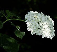 White Hydrangea Blossoms - Hydrangea arborescens - Annabelle by MotherNature