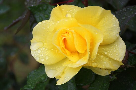 Golden Rose by Trish Threlfall