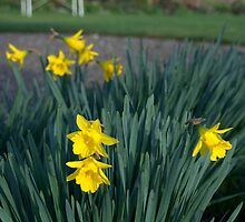 Scottish daffodils by Morag Anderson