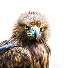Golden Eagle. by Maybrick