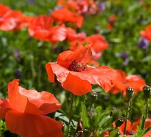 Poppies Compton Berkshire  by Jim Hellier