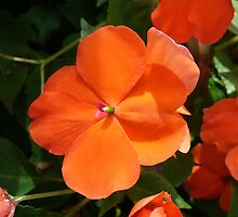 Vivid Orange Vermillion Impatiens Flower by taiche