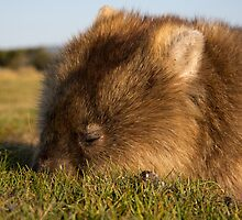 Wombat in Narawntapu by Steve Bass