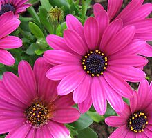 Vibrant Pink Cape Daisies and Bud by kathrynsgallery