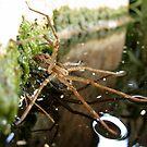 Nursery Web Spider (Tinus peregrinus) by Kimberly Chadwick