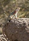 Eastern Collard Lizard (Gravid Female) by Kimberly Chadwick