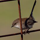 Wren on a Rusty Gate by John Sharp
