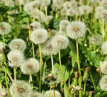 fluffy dandelion by mrivserg