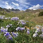 Colorado Wildflowers - Columbine in American Basin by RobGreebonPhoto