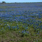 Texas Bluebonnets by plsphoto