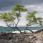 Divided Tree with Ahihi Bay behind it by Chris Sauerwald