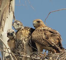 Red-tailed Hawks ~ Morning Teachings by Kimberly Chadwick