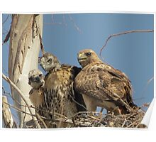 Red-tailed Hawks ~ Morning Teachings Poster