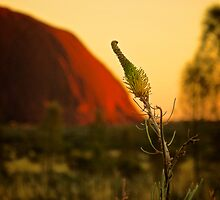 Central Australia Flower (Grevillea) by D-GaP