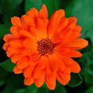 Calendula officinalis by Steve