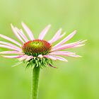Purple Coneflower (Echinacea purpurea) by Lifeware