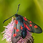 Burnett Moth by Roger Hall