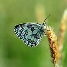 Marbled White Butterfly by Russell Couch