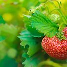 One Big Strawberry On Her Plant by GrishkaBruev