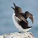 Razorbill by M.S. Photography/Art
