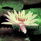 A Rising Lotus by Satom M Chhim