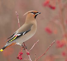 Waxwing in winter by MIRCEA COSTINA