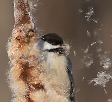 Black-capped Chickadee by MIRCEA COSTINA