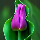Cradled Tulip by Michelle Joseph-Long