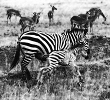 Plains zebra mother with calf by Valerija S.  Vlasov