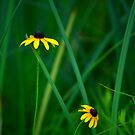 Blackeyed Susans by Debbie  Maglothin