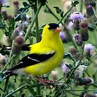 Goldfinch in the midst of Thistle by sevenfeathers