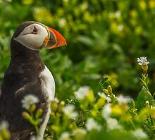 Puffin by Roger Hall
