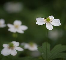 Canada anemone by PhotosByHealy
