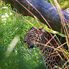Leopard in grass by Arve Bettum