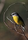 Eastern Yellow Robin by Donovan wilson