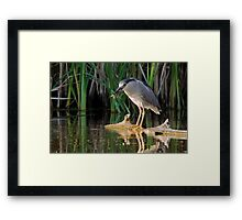 Snack time for a Night-Heron Framed Print
