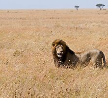 Lion in the grass lands by Valerija S.  Vlasov