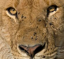 Lion close up by Valerija S.  Vlasov