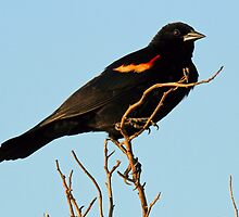 Red Winged Blackbird by jozi1