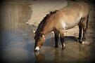 Przewalski's Wild Horse (Critically Endangered) by Kimberly Chadwick
