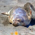 Cooling Off - Elephant Seal Pup by JamesA1