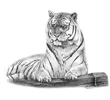 Tiger in Pencil by Paul-M-W